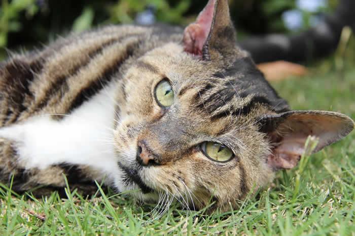 Pallivet cat