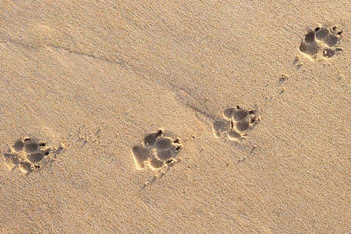 pawprints in sand pallivet
