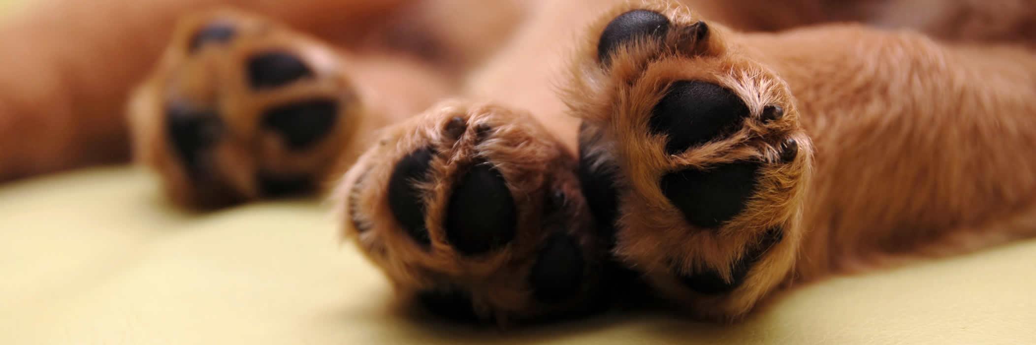 Pallivet collapsed dog
